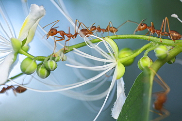 Green Tree Ant (Oecophylla smaragdina) group on flowering plant, Angkor Wat, Cambodia
