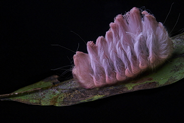 Flannel Moth (Megalopygidae) caterpillar, Yasuni National Park, Ecuador