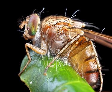 Fruit Fly (Tephritidae) with fungal infection, Ankarafantsika National Park, Madagascar