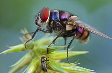Tachinid Fly (Tachinidae), Virunga National Park, Democratic Republic of the Congo