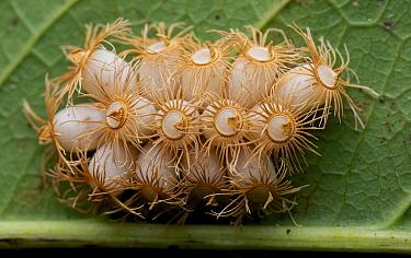 Shield bug eggs, Angkor Wat, Cambodia