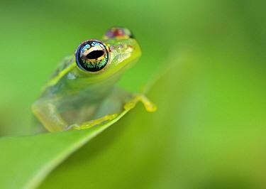 Mantellid Frog (Boophis sp), Antananarivo, Madagascar
