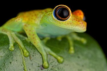 Green Bright-eyed Frog (Boophis viridis), Andasibe-Mantadia National Park, Antananarivo, Madagascar