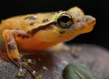 Ambatoharanana Giant Treefrog (Platypelis tuberifera), Andasibe-Mantadia National Park, Antananarivo, Madagascar