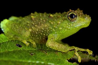 Boulenger's Giant Treefrog (Platypelis grandis), Antananarivo, Madagascar