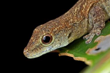Dwarf Gecko (Lygodactylus sp), Udzungwa Mountains National Park, Tanzania