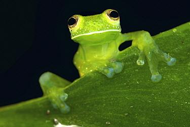 Nicaragua Giant Glass Frog (Espadarana prosoblepon), Mindo, Ecuador