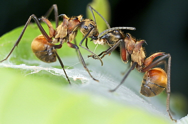 Spiny Ant (Polyrhachis sp) pair exchanging food, Danum Valley Conservation Area, Sabah, Borneo, Malaysia