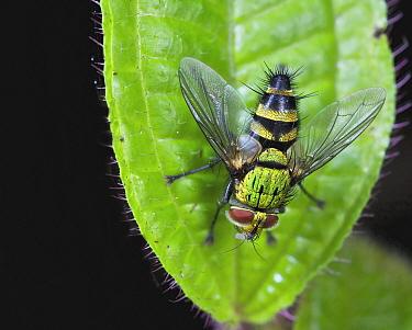 Tachinid Fly (Phorinia sp), Andasibe-Mantadia National Park, Antananarivo, Madagascar