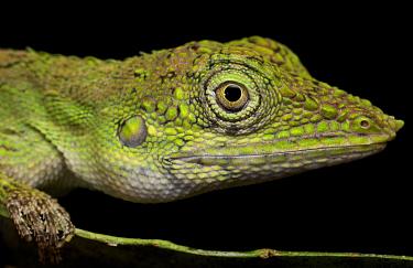 Indonesia Earless Agama (Aphaniotis acutirostris), Bukit Barisan Selatan National Park, Sumatra, Indonesia