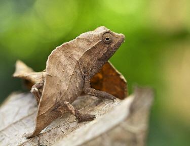 Bearded Leaf Chameleon (Rieppeleon brevicaudatus), Amani Nature Reserve, Tanzania