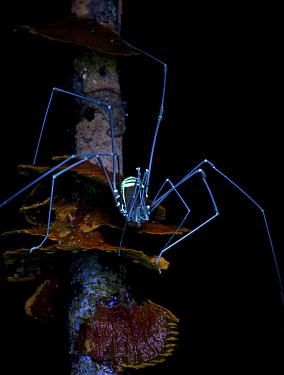 Harvestman (Cosmetidae), photographed under UV light, Leticia, Amazon, Colombia