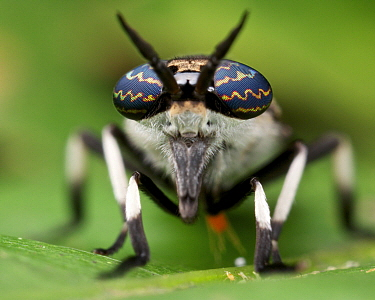 Horse Fly (Tabanidae), Danum Valley Conservation Area, Sabah, Borneo, Malaysia