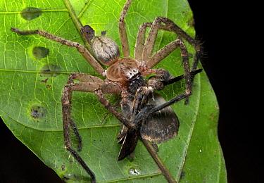 Giant Crab Spider (Sparassidae) with moth prey, Udzungwa Mountains National Park, Tanzania