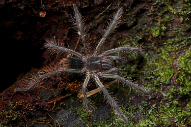 Tarantula (Pamphobeteus sp) juvenile, Leticia, Brazil