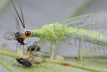 Green Lacewing (Chrysopidae) with aphid prey, British Columbia, Canada