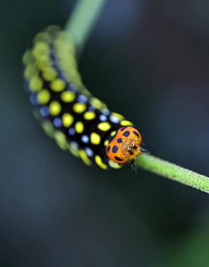 Skipper (Hesperiidae) caterpillar, Andasibe-Mantadia National Park, Antananarivo, Madagascar