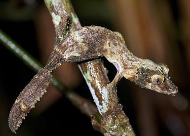 Leaf-tailed Gecko (Uroplatus sikorae),coloring resembles tree bark, Andasibe-Mantadia National Park, Antananarivo, Madagascar