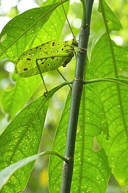 Katydid (Tettigoniidae) camouglaged against leaves, Costa Rica