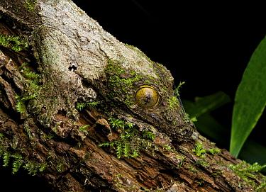 Leaf-tailed Gecko (Uroplatus sikorae) camouflaged on tree, Andasibe-Mantadia National Park, Madagascar