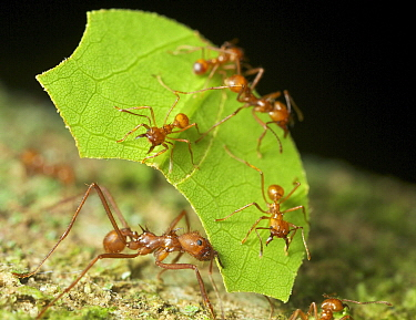Leafcutter Ant (Atta sp) group harvesting leaf, Yasuni National Park, Ecuador