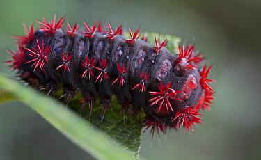 Cup Moth (Limacodidae) caterpillar, Antananarivo, Madagascar