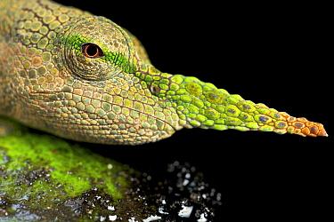 Pinocchio Chameleon (Calumma gallus) male, Madagascar