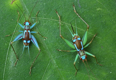 Cricket (Gryllidae) male and female, Udzungwa Mountains National Park, Tanzania