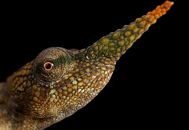 Pinocchio Chameleon (Calumma gallus) male, Antananarivo, Madagascar