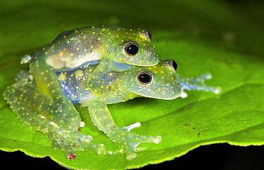 Glass Frog (Cochranella mache) pair mating, Ecuador