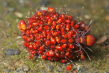 Capsid Bug (Miridae) parents guarding young, La Amistad International Park, Costa Rica