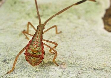 Capsid Bug (Miridae), Khao Yai National Park, Thailand