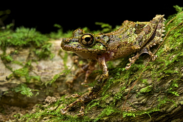 Mantellid Frog (Mantidactylus aglavei), Ranomafana National Park, Madagascar