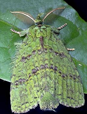 Moth (Erebidae), Andasibe-Mantadia National Park, Antananarivo, Madagascar