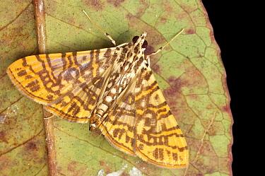 Crambid Snout Moth (Glyphodes sp), Mount Kinabalu National Park, Sabah, Borneo, Malaysia