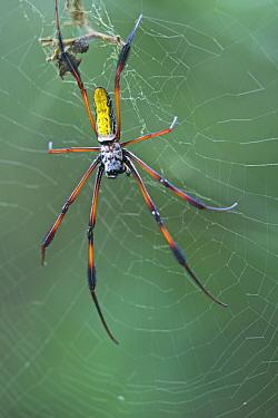 Giant Orb-weaving Spider (Nephila madagascariensis) in web, Andasibe-Mantadia National Park, Antananarivo, Madagascar