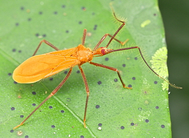 Assassin Bug (Reduviidae), Danum Valley Conservation Area, Sabah, Borneo, Malaysia