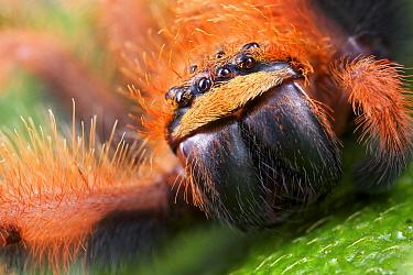Huntsman Spider (Megaloremmius leo), Andasibe-Mantadia National Park, Antananarivo, Madagascar