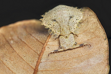 Owl Fly (Ascalaphidae) larva, Amani Nature Reserve, Tanzania
