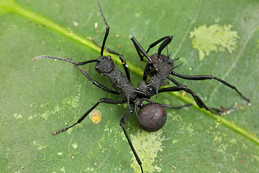 Spiny Ant (Polyrhachis armata) pair from two different colonies fighting, Danum Valley Conservation Area, Sabah, Borneo, Malaysia