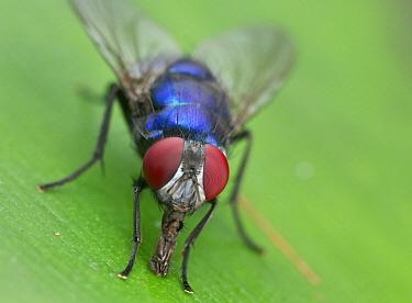 Tachinid Fly (Tachinidae), Danum Valley Conservation Area, Sabah, Borneo, Malaysia