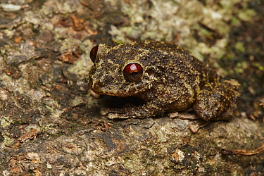 Robber Frog (Pristimantis diadematus), Amazon, Ecuador