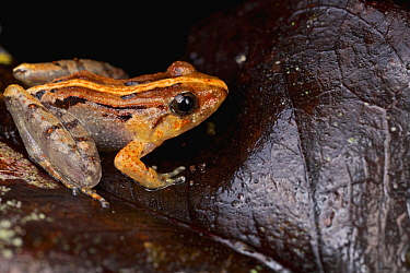 Smooth Guardian Frog (Limnonectes palavensis) sub-adult male, Danum Valley Conservation Area, Sabah, Borneo, Malaysia