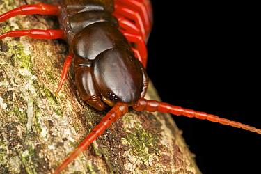 Centipede (Scolopendra sp), Gunung Leuser National Park, Sumatra, Indonesia