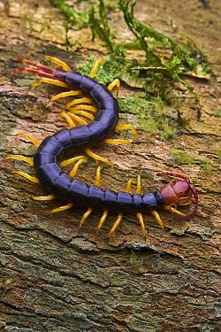 Centipede (Scolopendra sp), Yasuni National Park, Ecuador