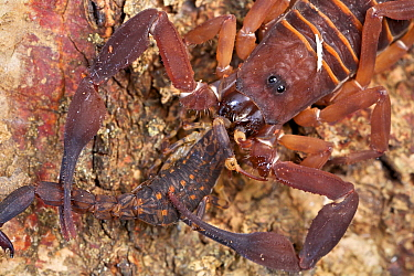 Scorpion (Lychas asper) feeding on another scorpion, Udzungwa Mountains National Park, Tanzania
