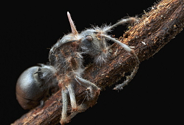 Ant (Polyrhachis schlueteri) infected with Sac Fungus (Cordyceps sp), Amani Nature Reserve, Tanzania