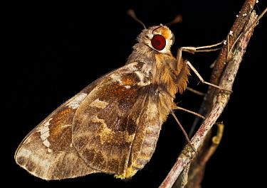 Skipper (Hesperiidae), Ankarafantsika National Park, Madagascar