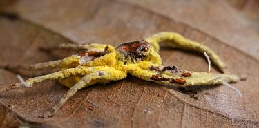 Fungus (Torrubiella sp) which has infected a spider, Antananarivo, Madagascar