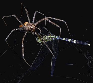 Fishing Spider (Pisauridae) with dragonfly prey, Udzungwa Mountains National Park, Tanzania